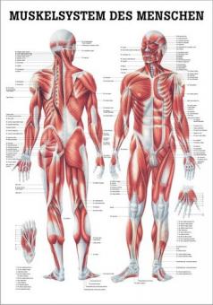 Lehrtafel - Muskelsystem des Menschen
